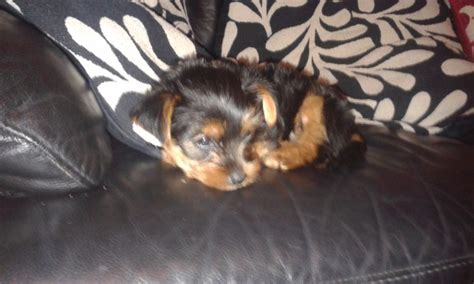 9 week yorkie 9 week yorkie for sale rochdale greater manchester pets4homes