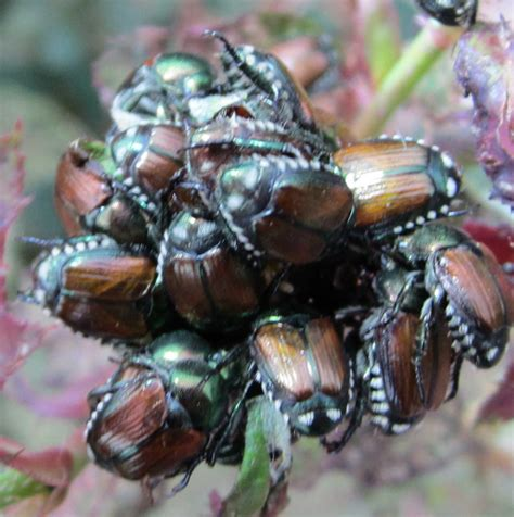 Eat At Raoaes Ae If You Can by Japanese Beetles To Eat Roses The Home Depot Community