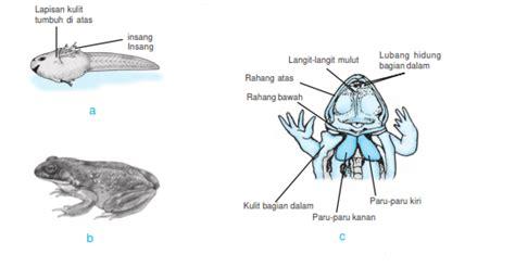 Alat Pernapasan Anak Katak Atau Berudu alat pernapasan amfibi trakea dan kulit materi ajar sd