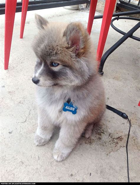 husky pomeranian mix pomeranian teacup husky grown breeds picture