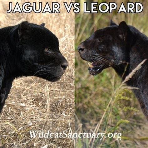 what are the differences between a black leopard and a