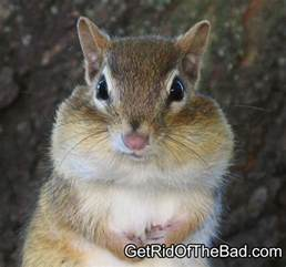 how to get rid of chipmunks get rid of the bad