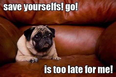 Funny Pug Meme - the 14 most ridiculous pug pictures ever
