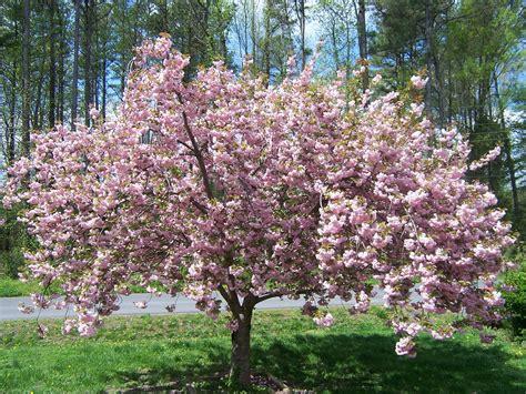 outdoor tree cherry blossom my garden