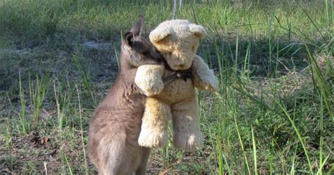 doodlebug orphaned kangaroo adorable orphaned baby kangaroo hugs his teddy tightly
