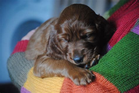 setter dogs for sale irish setter puppies for sale kilmarnock ayrshire