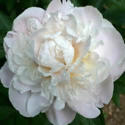 high c gardenias paeonia lactiflora gardenia peony