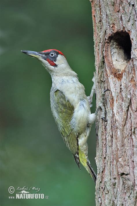 green woodpecker photos green woodpecker images nature