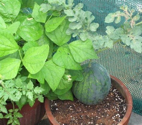 Bibit Buah Semangka 18 tanaman buah yang bisa ditanam di pot kecil