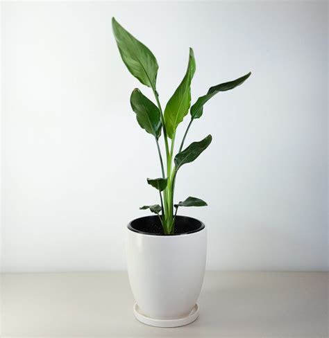 in door plant put in pot vide bird of paradise in white pot strelitzia for indoors