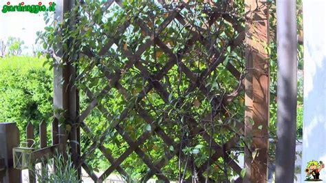 ricanti in vaso gelsomino terrazzo 28 images piante da terrazzo
