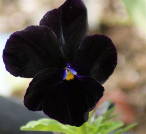 Black Flowers by Dongetrabi Black Orchid Flower Bouquet Images