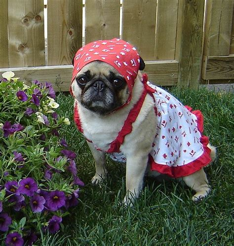 pug of the day pug photos of pugs images pug canada day wallpaper and background photos 33608189