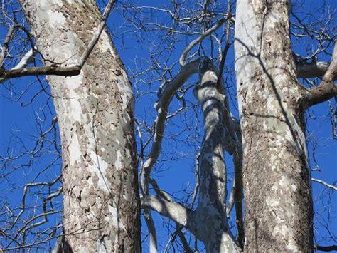 Sycamore Tree Shedding Bark by Sycamore Tree Dominion Wildlife