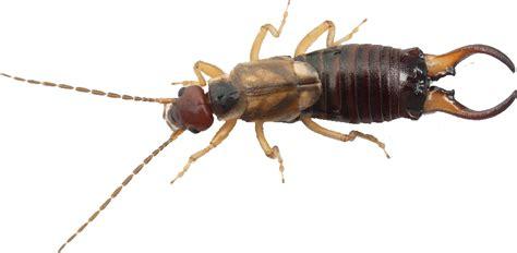 maheu extermination punaise de lit fourmis souris