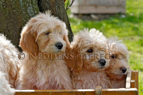 bei doodle name löschen vielen dank f 252 r ihre nachricht goldendoodle dogs of