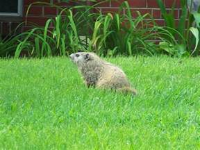 how to get rid of groundhogs facts photos info