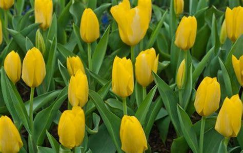 wallpaper bunga tulip kuning arti dan makna bunga tulip berdasarkan warna bibitbunga com
