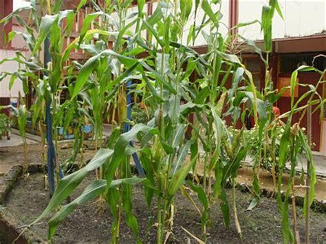 httpagrohiasblogspotcom tanaman sayur sebagai