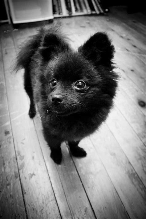 all black pomeranian puppies best 25 black pomeranian ideas on black pomeranian puppies pomeranian