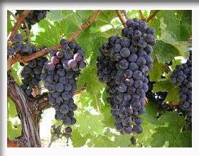 wallpaper daun anggur diskripsi dan tinjauan buah anggur sebagai obat herbal