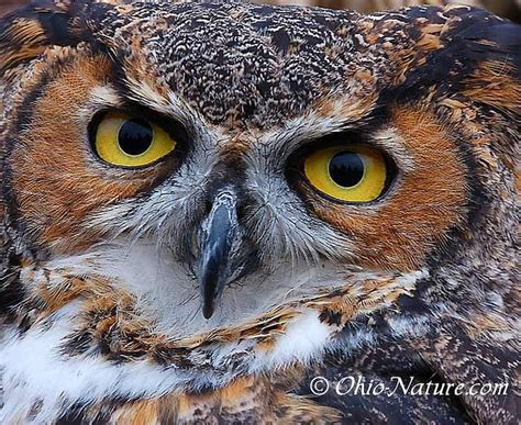 owl by ohio nature com via flickr owls pinterest