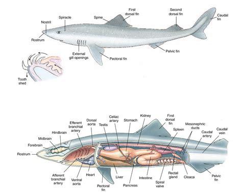 free shark diagrams diagram site