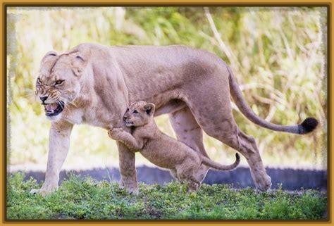 imagenes de leones con sus cachorros ver imagenes de leonas con sus cachorros imagenes de leones