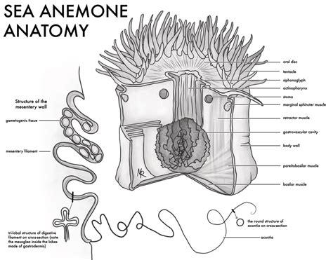 sea anemone diagram bocas arts grant meghan rocktopus