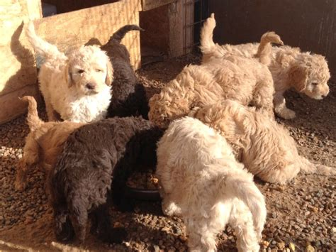 newfypoo puppies for sale best newfypoo puppies newfoundland poodle mix call 719 320 7146