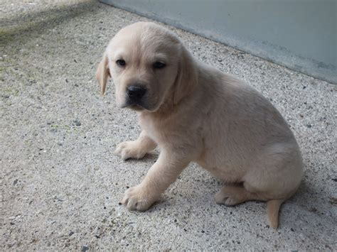 golden retriever x labrador golden retriever x labrador holsworthy pets4homes