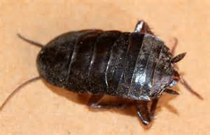 water bugs in bathroom types of roaches in arizona pictures to pin on pinterest