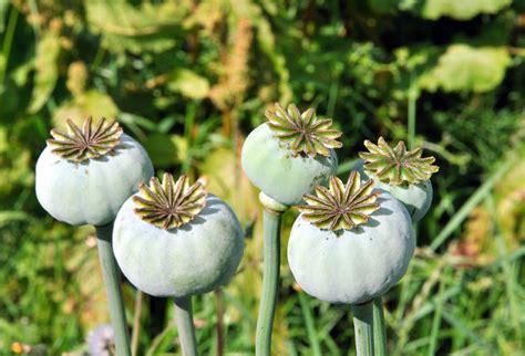Opium north fife opium poppy north fife