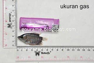 Harga Bibit Ikan Gurame Ukuran Silet gurame ph meter daftar produksi gurami bibit pendederan