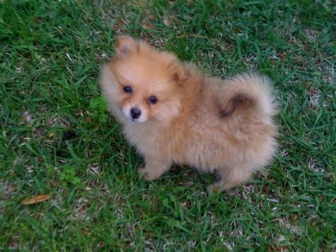 oldest pomeranian community molly 4 month pomeranian