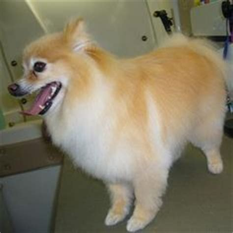 pomeranian grooming cuts 22 best pomeranian haircut images on pomeranian haircut pomeranians and