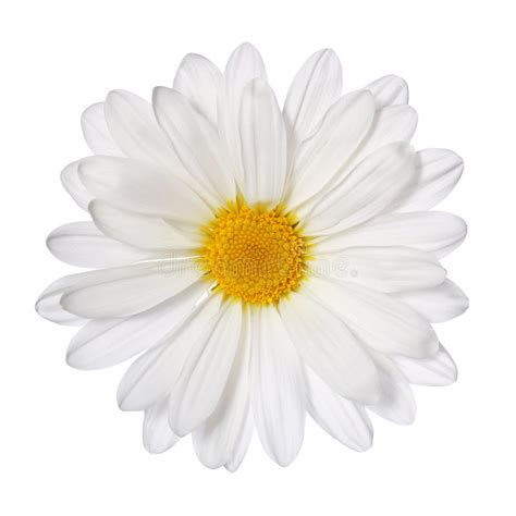 fiore della camomilla fiore della camomilla isolato su bianco margherita