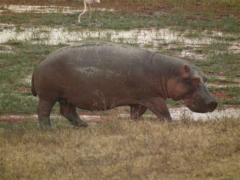 what color are hippos hippopotamus