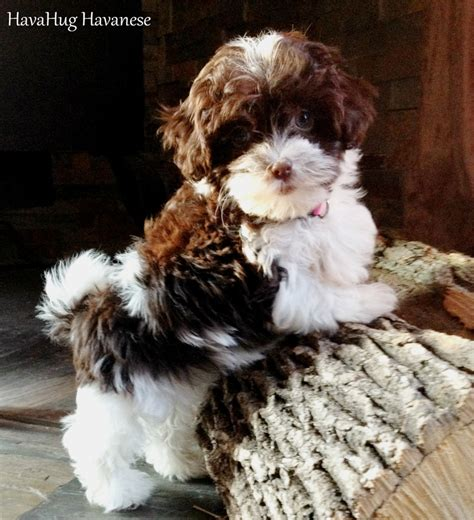 havanese mi havahug havanese puppies havahug havanese puppies of michigan