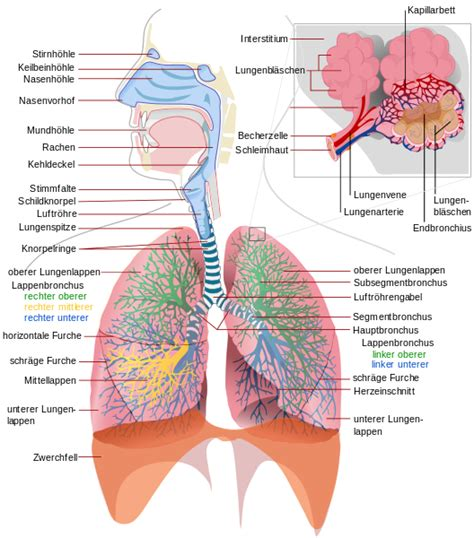 Respiratory Description by File Respiratory System Complete De Svg