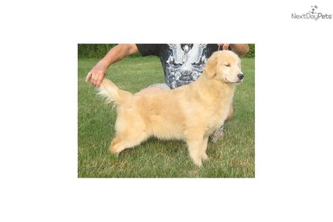 golden retriever puppies syracuse ny golden retriever puppy for sale near syracuse new york a9811e0b cdb1