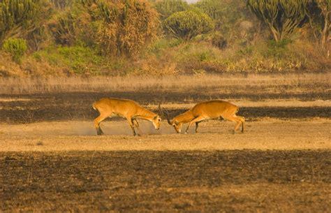 queen elizabeth national park uganda wildlife uganda safari 9 day 2x gorilla trekking adventure and