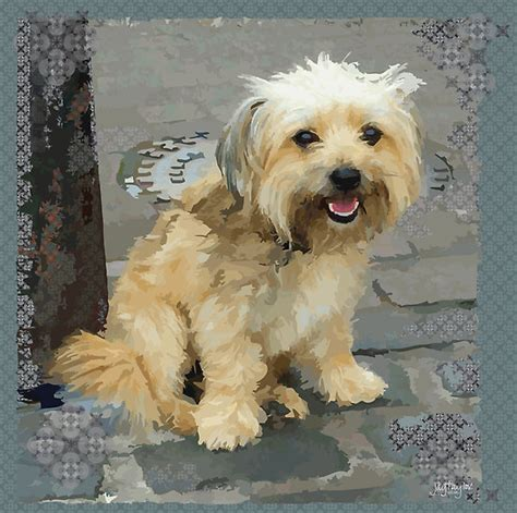yorkie shih tzu mix quot louie the shorkie tzu shih tzu terrier yorkie mix quot by