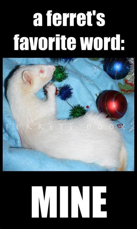 Ferret Meme - 95 best ferret images on pinterest ferrets funny