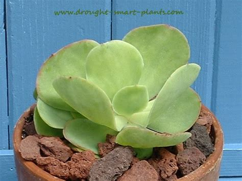 echeveria pallida an apple green and delicious little variety