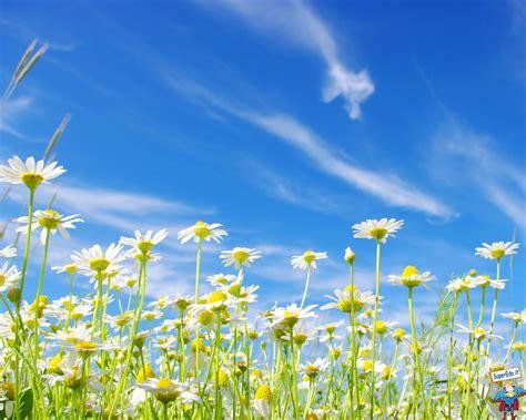 foto fiori hd sfondi margherite hd sfondi in alta definizione hd