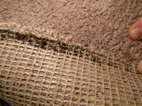 bed bugs in carpet bed bugs and eggs bed bugs