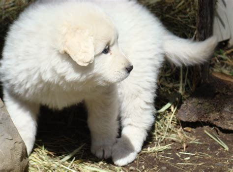 leonberger puppies for adoption beautiful leonberger ackbash puppies for sale for sale adoption from breeds picture