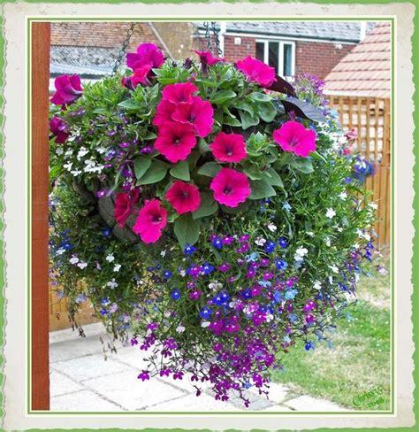 17 best ideas about petunia plant on pinterest hanging basket garden petunia flower and