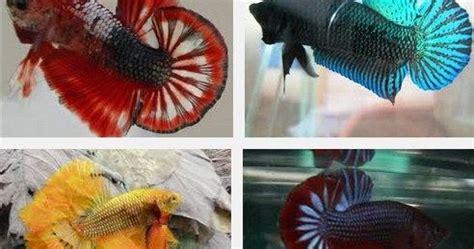 Makanan Ikan Cupang Agar Ganas cara merawat ikan cupang agar ganas serta menang dalam